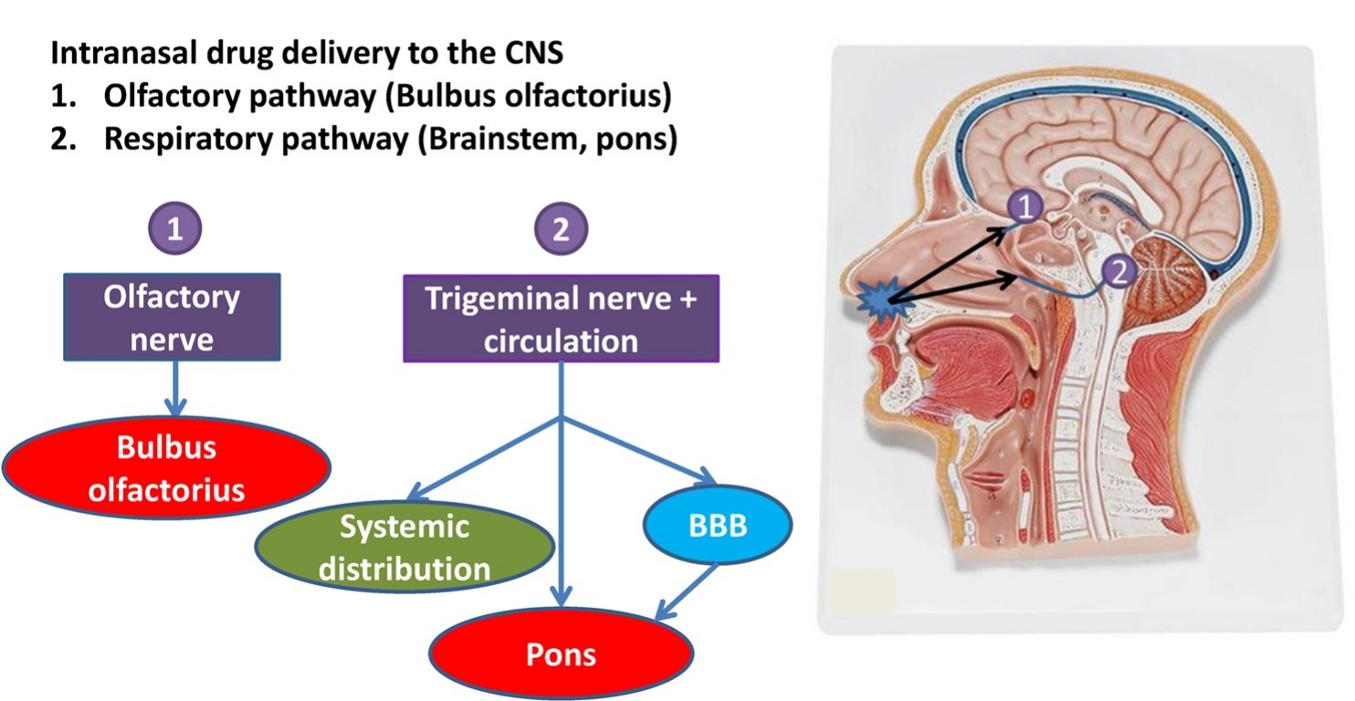 intranasal-delivery-pathways