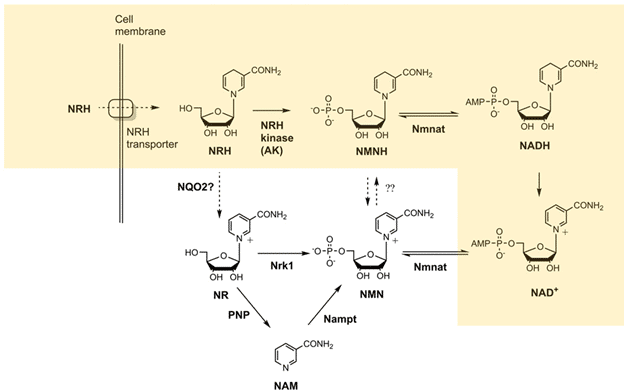 NRH can be transformed into NMNH by AK (Yang et al. Nature metabolism, 2020)