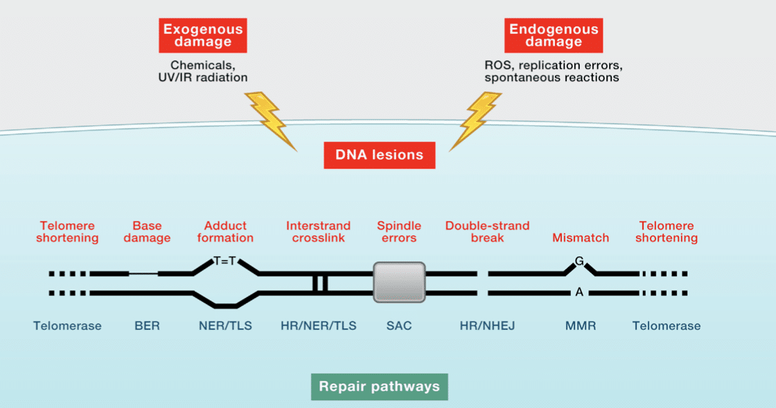 repair pathways